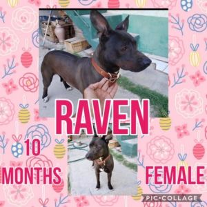 Dog for adoption - RAVEN 10 MONTH OLD MIXED BREED FEMALE