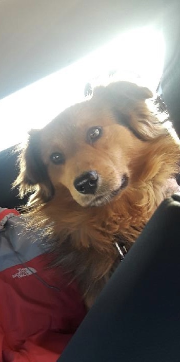 Dog for adoption - Brownie, a Collie & German Shepherd Dog Mix in