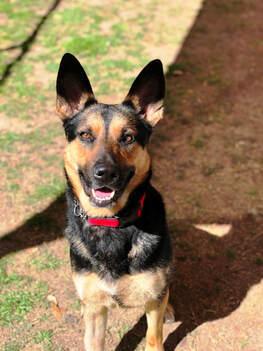 Dog for adoption - Honey (referral), a German Shepherd Dog