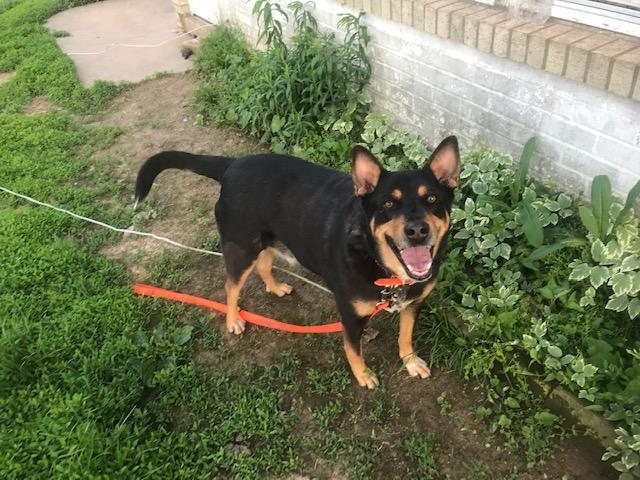 5183 Roscoe, an adoptable Australian Cattle Dog / Blue Heeler Mix in Springfield, MO
