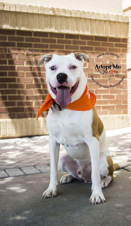 Dog For Adoption Remington A Pit Bull Terrier Siberian Husky