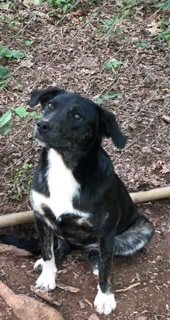 Willow, an adoptable Border Collie Mix in Conover, NC