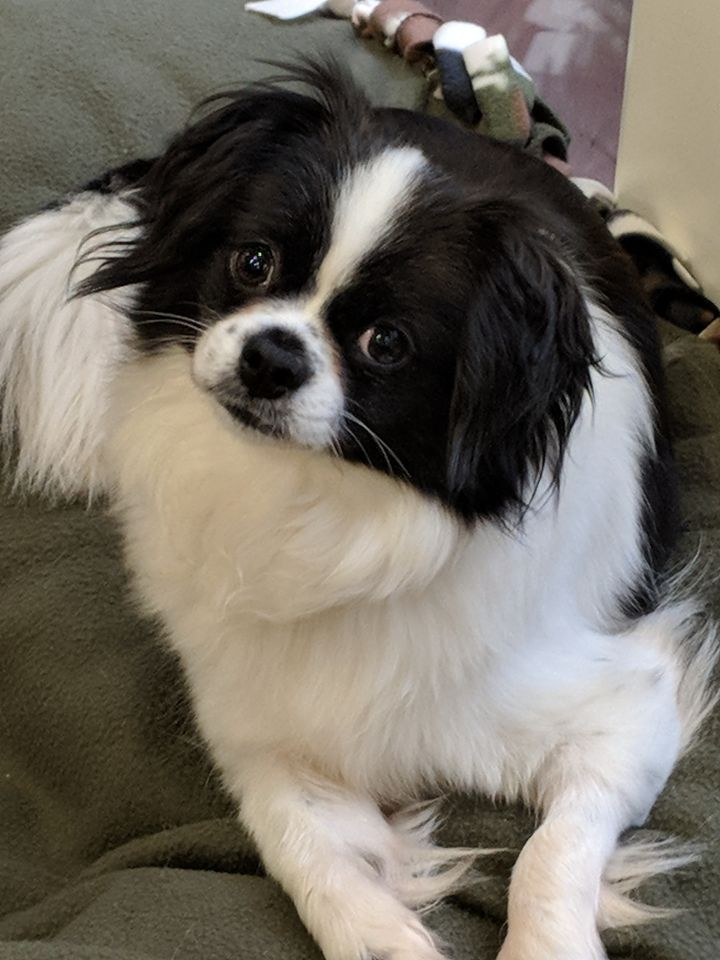 Dog for adoption - Jemma, a Japanese Chin Mix in Greensboro
