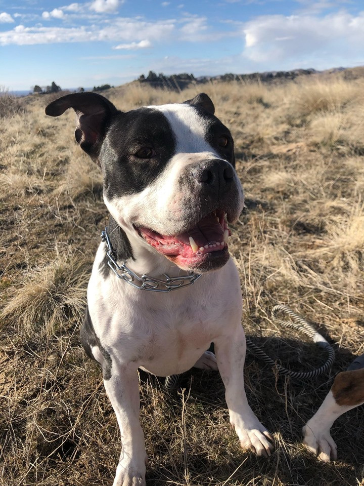 Riley, an adopted Pit Bull Terrier Mix in Eagle, ID