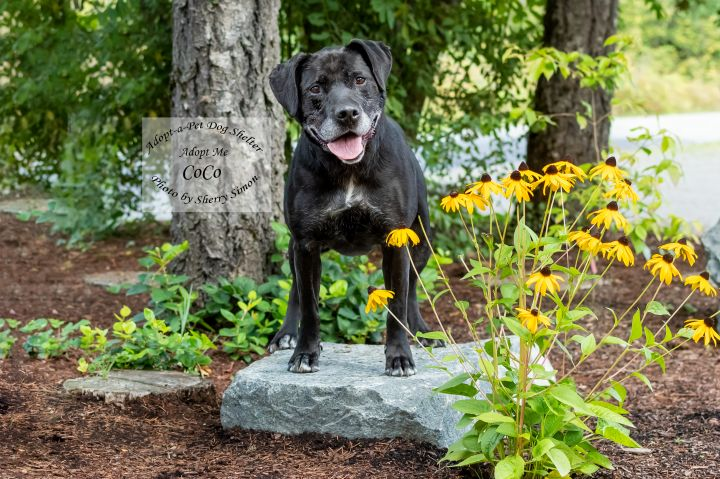 COCO, an adoptable Retriever & Labrador Retriever Mix in Shelton, WA