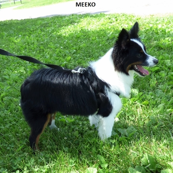 Meeko, an adoptable Australian Shepherd in Louisville, KY