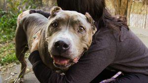 Willow (Entertaining!) Pit Bull Terrier Dog