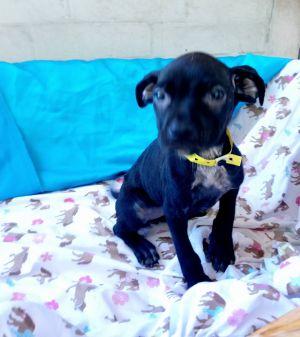 Dog for adoption - Sabrina, a Labrador Retriever Mix in