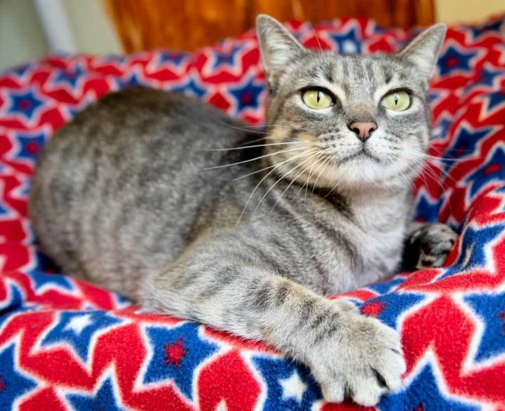 Ashley, an adoptable Domestic Short Hair Mix in Port Townsend, WA