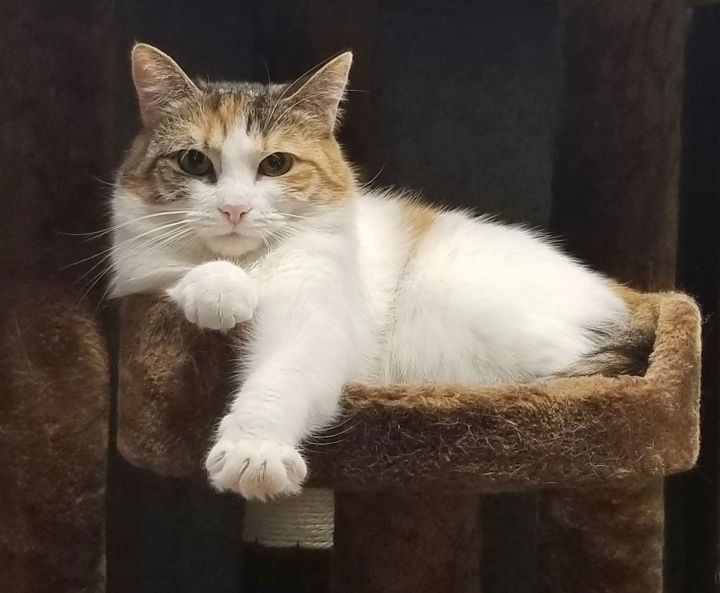 Arizona, an adoptable Domestic Medium Hair in Holtsville, NY