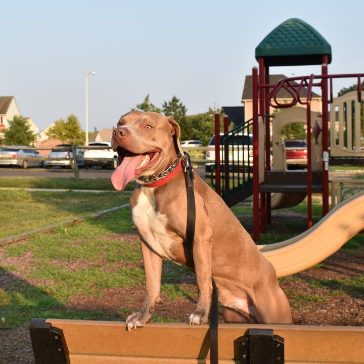 King, an adoptable Hound & Pit Bull Terrier Mix in Lincoln Park, NJ