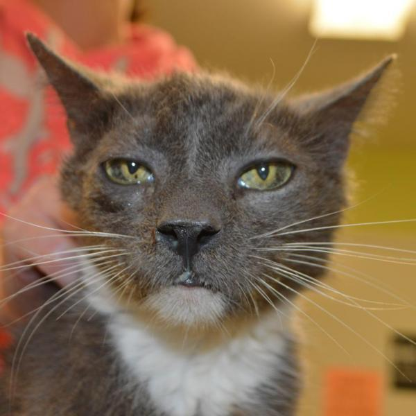 Brilliant Cat For Adoption Homer A Domestic Short Hair In Lyndhurst Download Free Architecture Designs Itiscsunscenecom