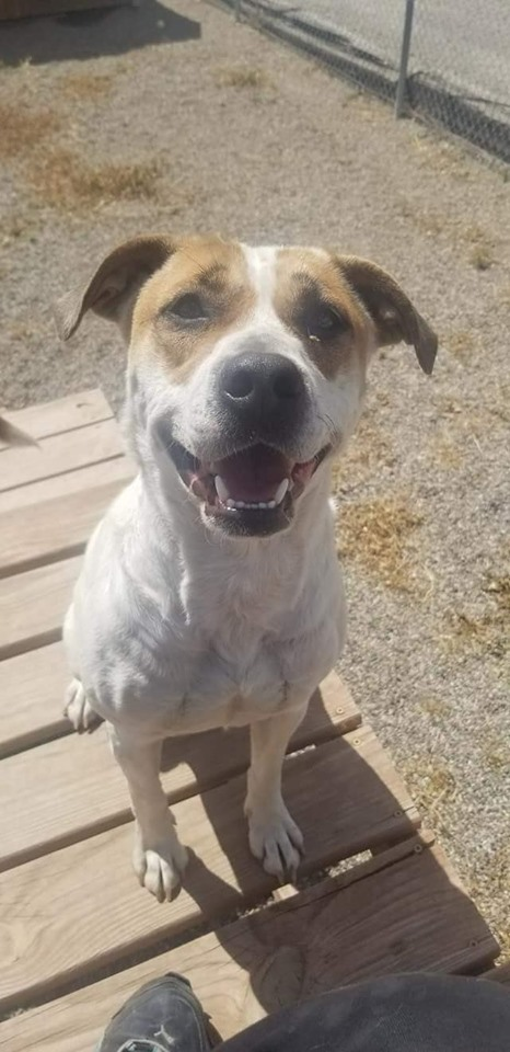 June Bug, an adoptable Cattle Dog Mix in Rifle, CO
