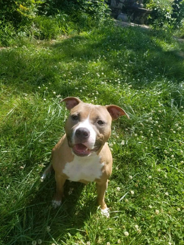 Sierra, an adoptable Pit Bull Terrier Mix in Conover, NC