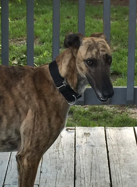 Magic, an adoptable Galgo Spanish Greyhound in Indianapolis, IN