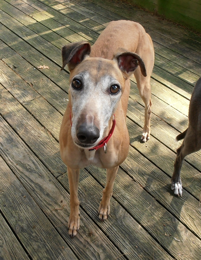 GLINDA, an adopted Greyhound in Altoona, PA