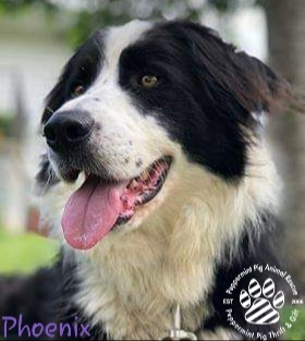Phoenix UNAVAILABLE, an adoptable Border Collie Mix in Cincinnati, OH
