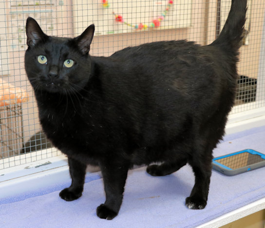Shadow, an adoptable Domestic Short Hair in Cincinnati, OH