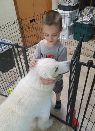 Jewel, an adoptable Great Pyrenees in Winter Park, CO