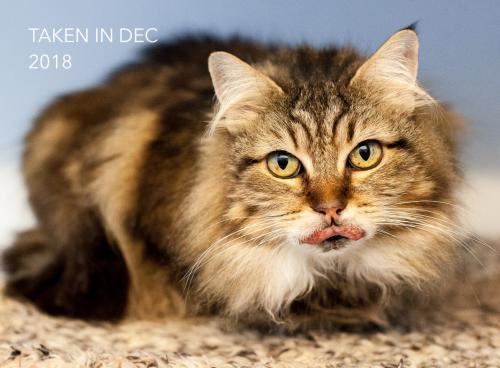 Princess, an adoptable Tabby & Domestic Long Hair Mix in Springfield, OR