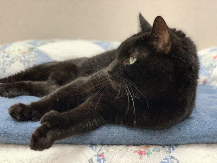 Charm, an adoptable Domestic Short Hair in Naperville, IL