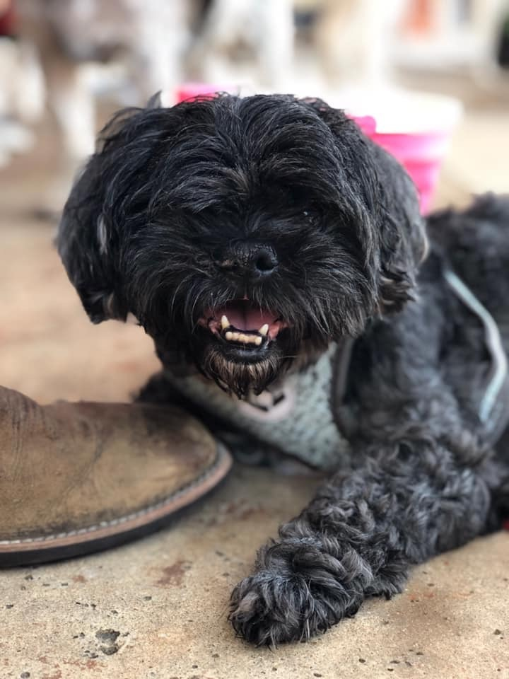 Levi, an adoptable Shih Tzu in Temple, TX