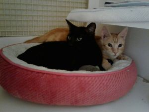 Ethan - a senior kitty in love with Furrette! (bonded pair alert!)