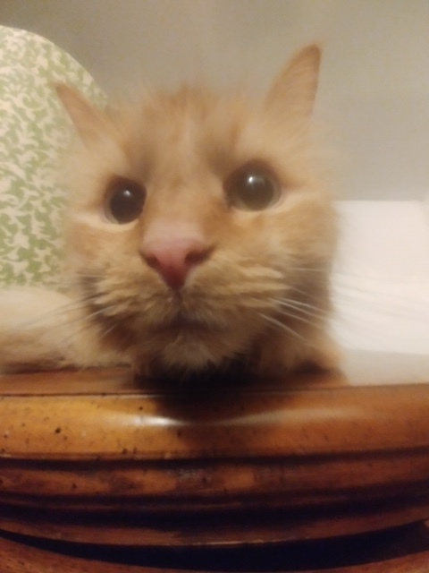 Taffy - Great Company!, an adoptable Domestic Long Hair in Jamestown, MI