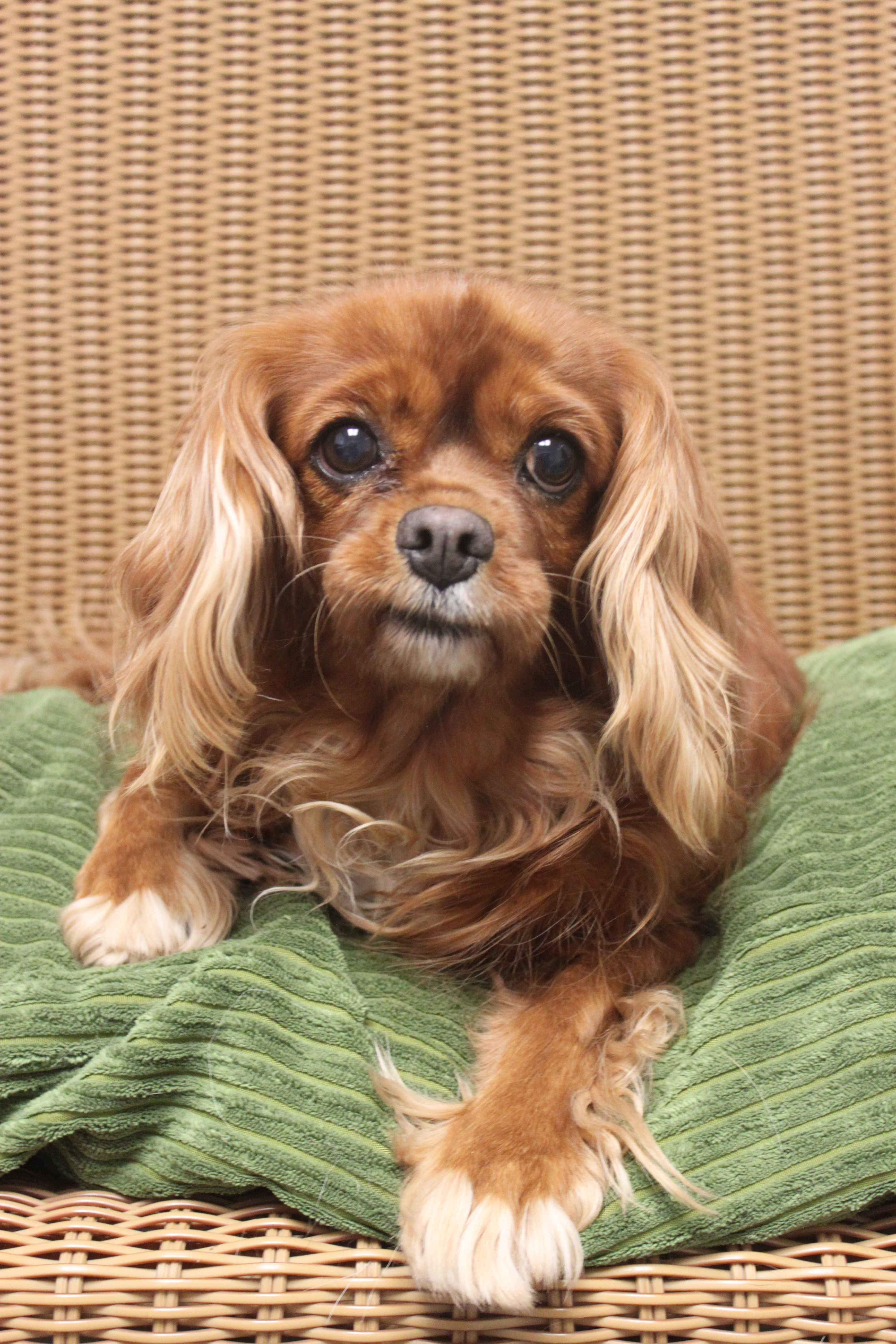 Dog for adoption - CeCe, a Cavalier King Charles Spaniel in