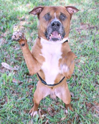 Cesar, an adoptable American Staffordshire Terrier Mix in Loxahatchee, FL
