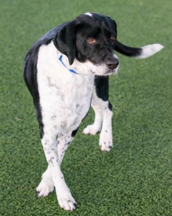 Sophia, an adoptable Pointer Mix in Loxahatchee, FL