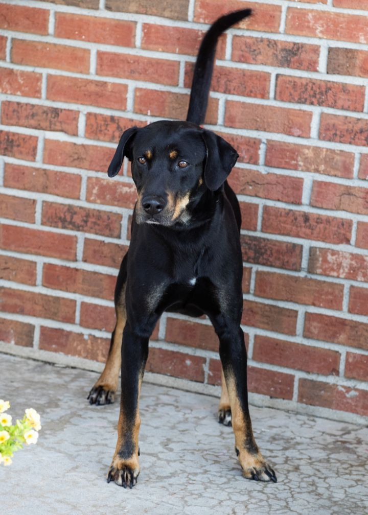 Jackson, an adoptable Rottweiler Mix in Cape Girardeau, MO