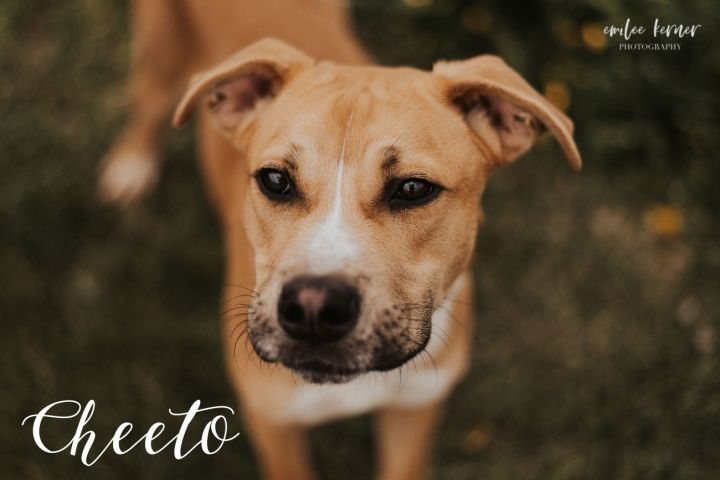 Cheeto, an adopted Pit Bull Terrier & Boxer Mix in Evansville, IN