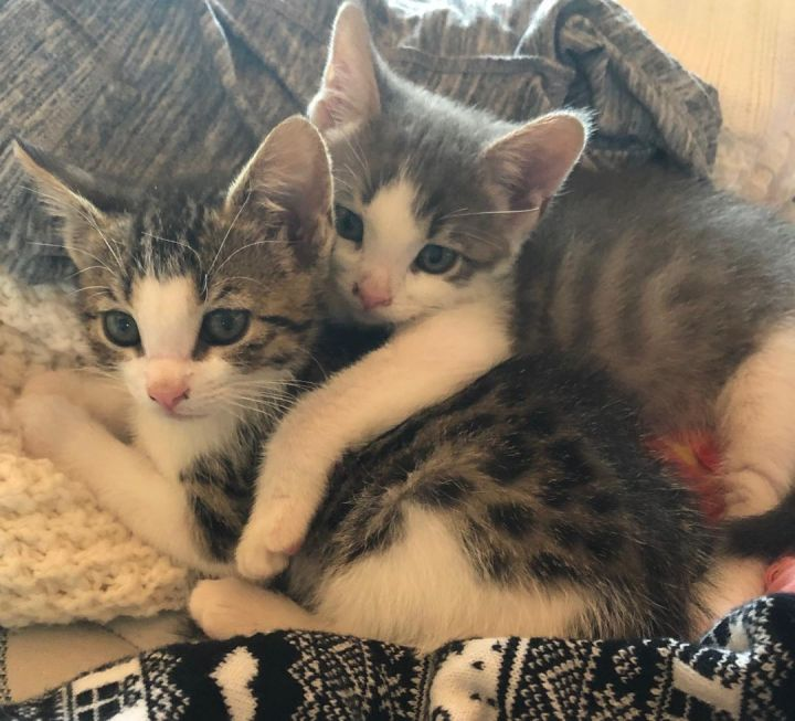 Roscoe and Ella - Dynamic Duo, an adopted Domestic Short Hair Mix in Mission Viejo, CA