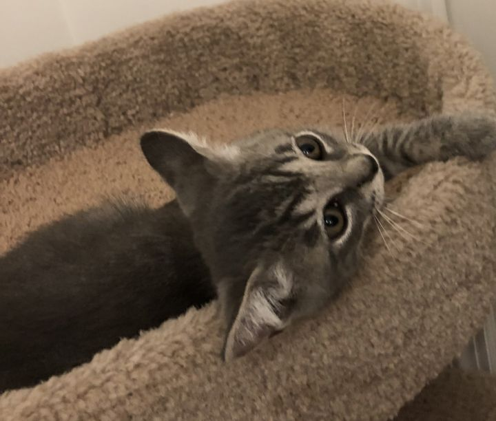 Ash, an adoptable Domestic Short Hair in Saint Augustine, FL