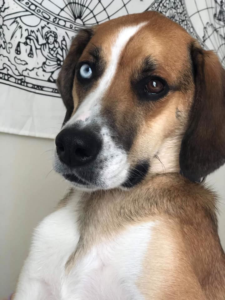 Winston, an adoptable Hound Mix in Greenville, NC