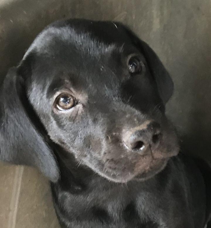 Dog for adoption - Mastiff Blacklab Bluetick hound Puppies
