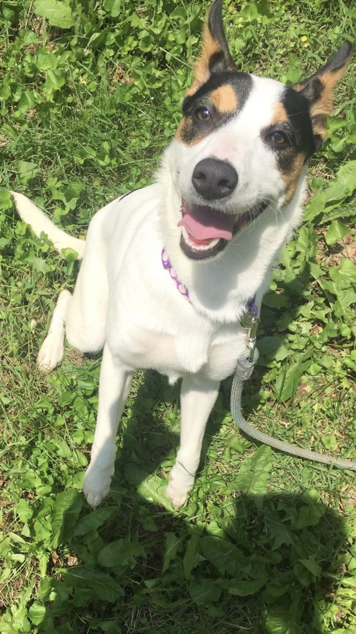 Niylah, an adoptable Canaan Dog Mix in Springfield, MO