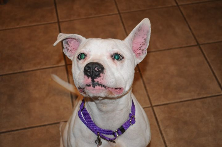 Angel, an adoptable Pit Bull Terrier Mix in Conover, NC