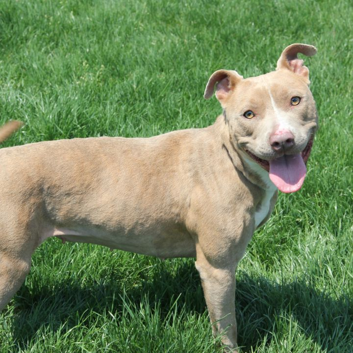 Dalia, an adoptable Pit Bull Terrier Mix in Clovis, CA