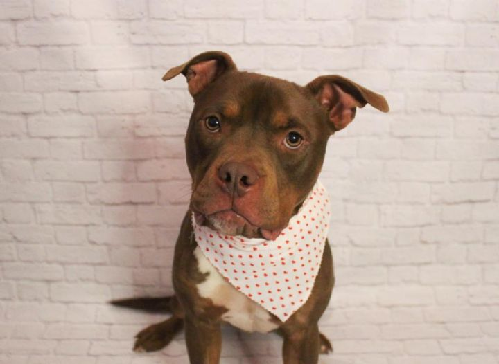 Rigby, an adopted Pit Bull Terrier Mix in Hendersonville, TN