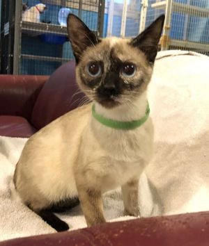 Cat for adoption - Lydia, a Siamese in Riverside, CA   Petfinder