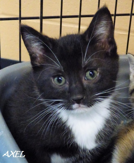 Axel, an adoptable Domestic Short Hair Mix in Louisville, KY