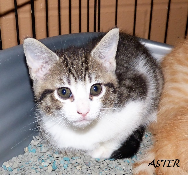 Aster, an adoptable Domestic Short Hair Mix in Louisville, KY
