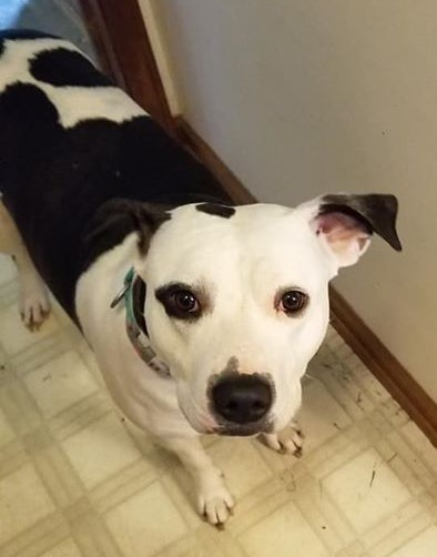 Hazel (bonded with Romeo), an adoptable Pit Bull Terrier Mix in Hadley, MI