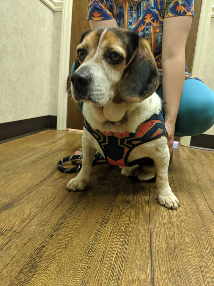 Buford, an adoptable Beagle Mix in Conover, NC