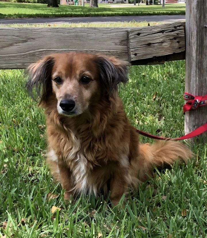 Sammy, an adopted Dachshund & Irish Setter Mix in Davie, FL