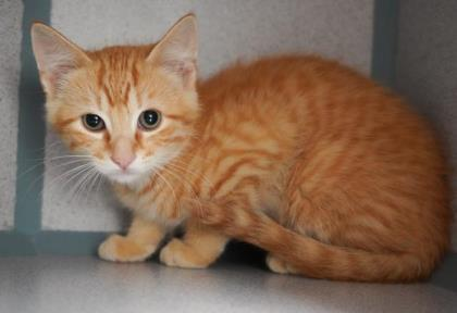 Cat For Adoption Chester Totally Sweet Totally Lovable A Tabby