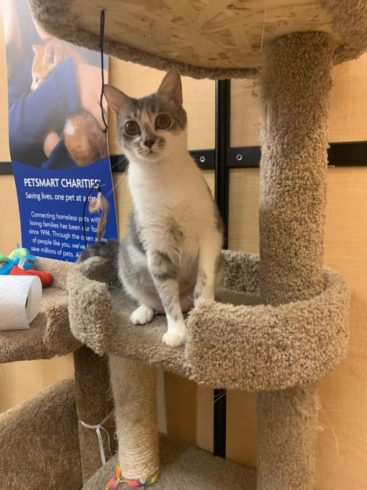 JOLENE, an adoptable Domestic Short Hair in Phoenix, AZ