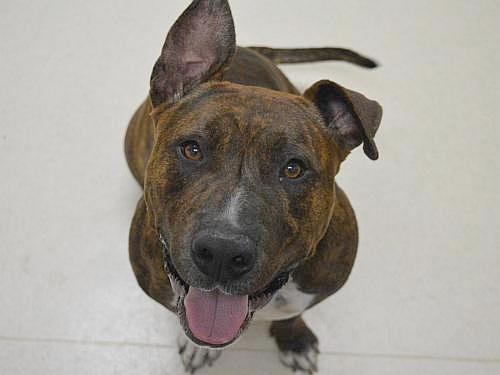 Chief, an adopted Pit Bull Terrier Mix in Eagle, ID